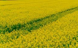 Champ de tulipe et vieux moulins dans le netherland Images libres de droits