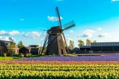 Champ de tulipe et vieux moulins dans le netherland Photos stock