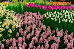 Champ de tulipe et vieux moulins dans le netherland Photo libre de droits