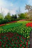 Champ de tulipe et vieux moulins dans le netherland Image libre de droits
