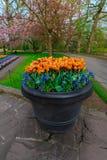 Champ de tulipe et vieux moulins dans le netherland Images stock