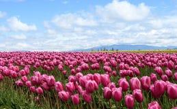 Champ de tulipe un jour ensoleill? images stock