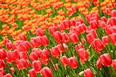 Champ de tulipes au printemps image stock