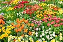 Champ de tulipes au printemps Mer des fleurs images libres de droits