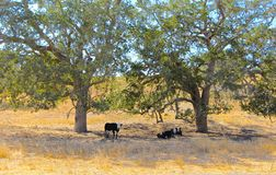 Champ de vaches Image libre de droits