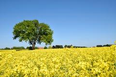 Champ de viol avec l'arbre solitaire Image libre de droits