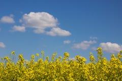 Champ de viol et ciel nuageux Image libre de droits