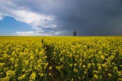 Champ de viol et ciel nuageux Photo stock