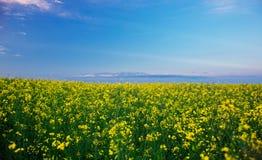 Champ de viol sous le ciel bleu Photographie stock libre de droits