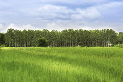 Champ de vue de gisement de riz avec l'eucalyptus bleu de ciel d'arbre de mur, tha Photographie stock