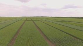 Champ des complots verts de blé tirant de l'air banque de vidéos