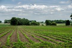 Champ des cultures de haricot à une ferme Photographie stock libre de droits