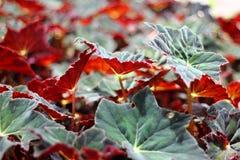 Champ des feuilles vertes rougeâtres Image libre de droits