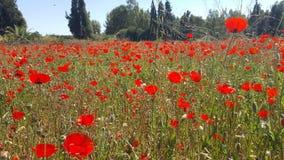 Champ des fleurs avec le chrysanthème clair de jaune de ciel et l'anémone rouge images libres de droits