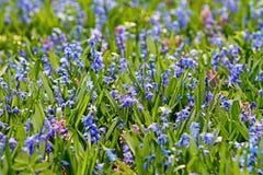 Champ des fleurs bleues de ressort photos stock