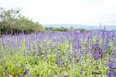 Champ des fleurs bleues de salvia Foyer sélectif Photo stock