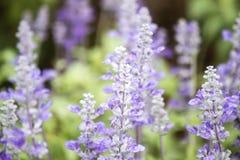 Champ des fleurs bleues de salvia Foyer sélectif Photo libre de droits