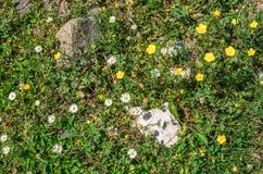 Champ des fleurs de chamomilla de Matricaria de camomille Texture de fleur Vue supérieure Photographie stock libre de droits