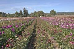 Champ des fleurs de dahlia dans Canby Orégon photos stock