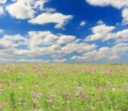 Champ des fleurs et du ciel de cosmos Photo stock