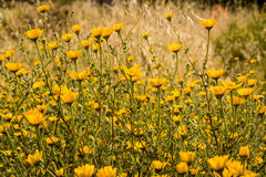 Champ des fleurs jaunes Image libre de droits