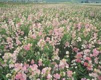 Champ des fleurs, Lompoc, CA Images libres de droits