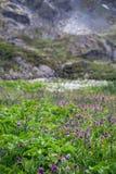 Champ des fleurs pourpres dans les montagnes d'Altai, Russie Photo stock