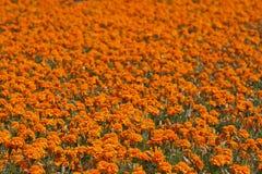 Champ des fleurs rouge-oranges de souci Image stock