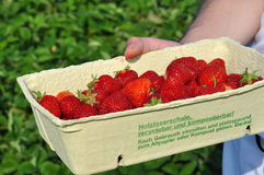 Champ des fraises Photo libre de droits