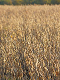 Champ des haricots de soja Photos libres de droits