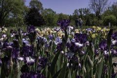 Champ des iris avec des couples Photographie stock