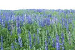 Champ des Lupines Image stock