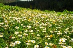 Champ des marguerites dans les montagnes carpathiennes en Ukraine Photos stock