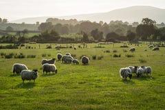 Champ des moutons photographie stock