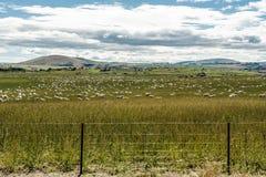 Champ des moutons au Nouvelle-Zélande photographie stock libre de droits