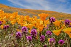 Champ des pavots oranges lumineux et des wildflowers pourpres de trèfle de hiboux photo libre de droits