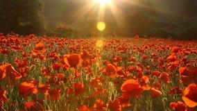 Champ des pavots rouges au coucher du soleil Image stock