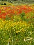 Champ des pavots rouges et des fleurs jaunes image libre de droits