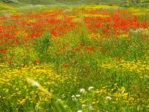 Champ des pavots rouges et des fleurs jaunes photos libres de droits