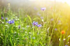 Champ des pavots sauvages et des fleurs de maïs au soleil légers photos stock