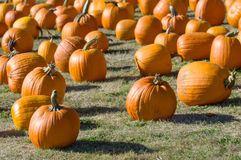 Champ des potirons oranges sur l'herbe Photo libre de droits