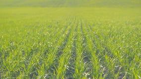 Champ des rangées vertes de blé Fermez-vous par temps ensoleillé s'orienter banque de vidéos