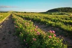Champ des roses de damassé roses de floraison Photographie stock libre de droits