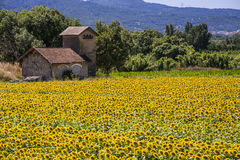Champ des tournesols Images stock