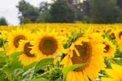 Champ des tournesols au fond de coucher du soleil de ciel Photo libre de droits