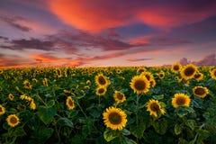 Champ des tournesols de floraison sur un coucher du soleil de fond image libre de droits