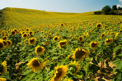 Champ des tournesols en Provence, France Photographie stock