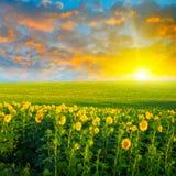 Champ des tournesols et du lever de soleil Images libres de droits