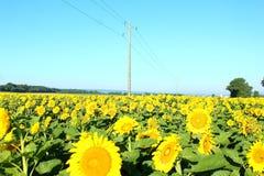 Champ des tournesols, tournesols, usine, fleurs, fleur de fleur image stock