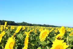 Champ des tournesols, tournesols, usine, fleurs, fleur de fleur photographie stock